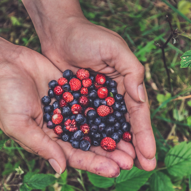 """Hands holding fresh picked up blueberries and strawberries"" stock image"