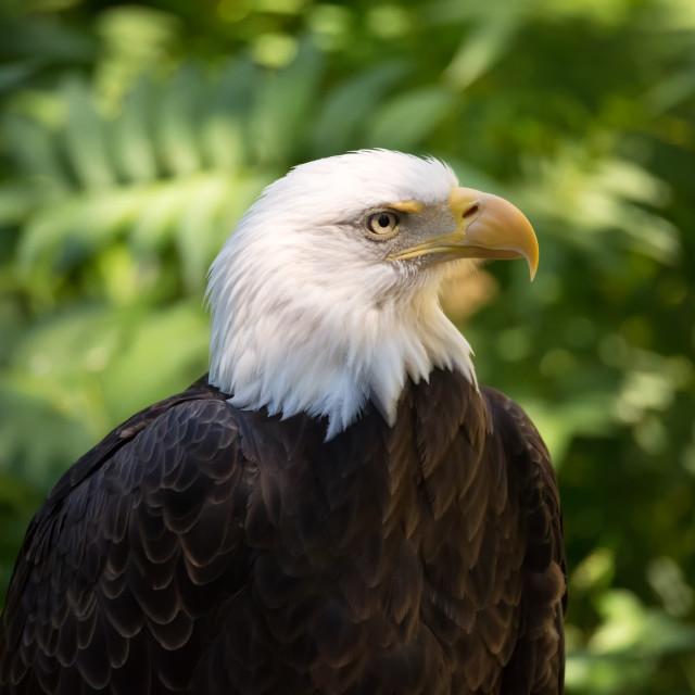"""Close-up Portrait of a Bald Eagle"" stock image"
