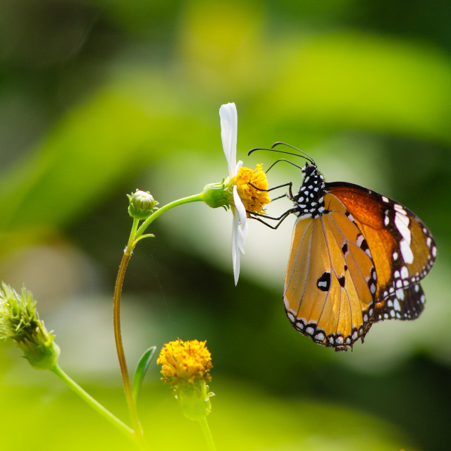"""""""Orange butterfly with white wild daisy flowers"""" stock image"""