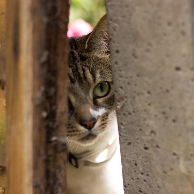 """Cat Peeping Through Garden Fence"" stock image"