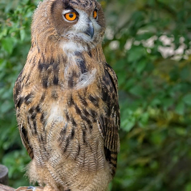 """Eagle-owl in the forest"" stock image"