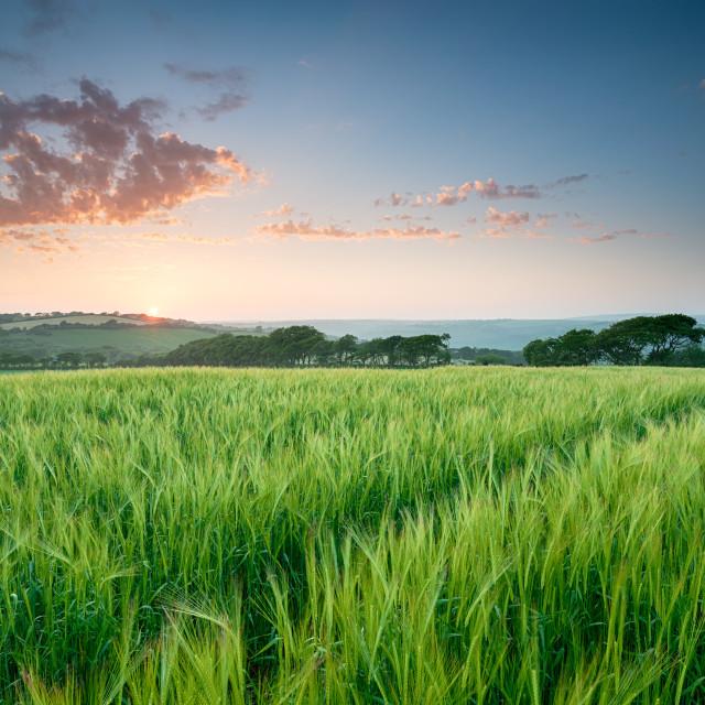 """Summer Barley Field"" stock image"