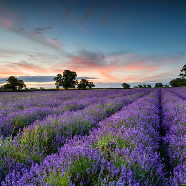 """Lavender Sunrise"" stock image"