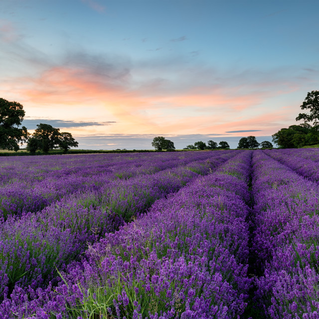 """""""Lavender Rows"""" stock image"""