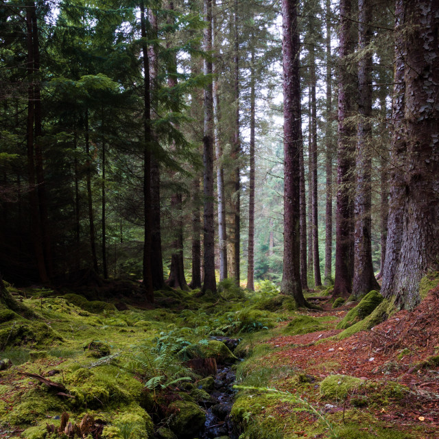 """Farigaig Forest"" stock image"