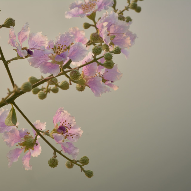 """Branch Blossoms"" stock image"