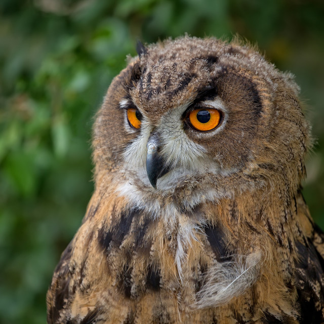 """Eagle-owl in the forest, a portrait"" stock image"