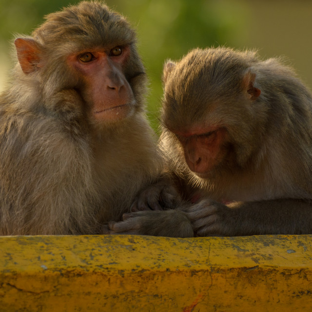 """Swayambhunath Monkeys"" stock image"