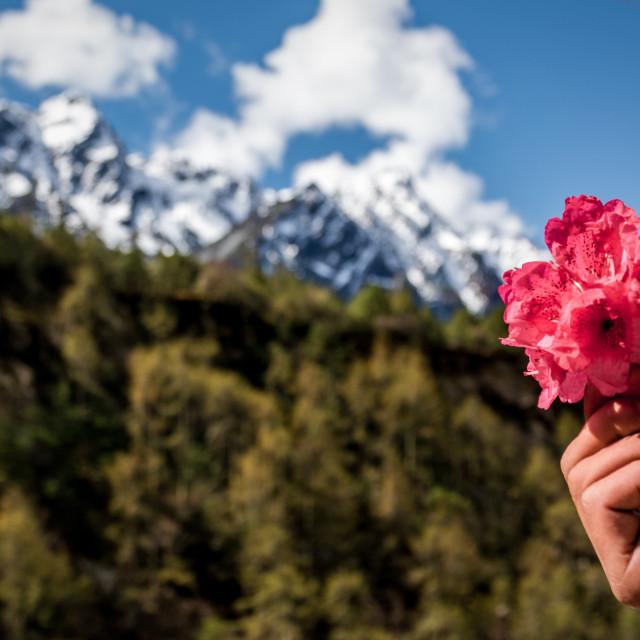 """Kanchanjunga Flower"" stock image"