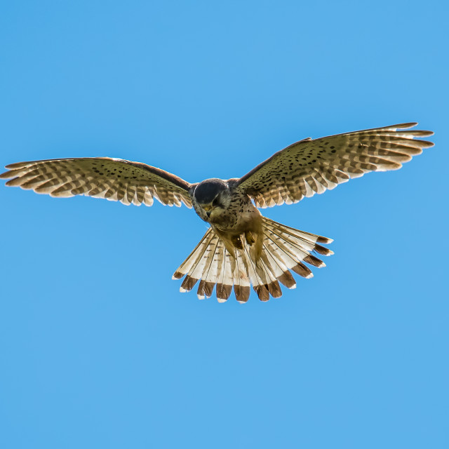 """Hunting Kestrel"" stock image"