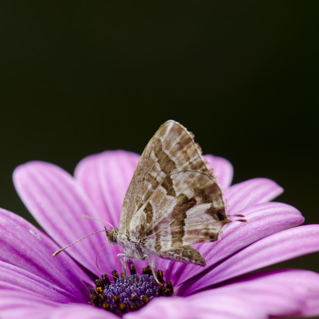 """Geranium bronze, butterfly"" stock image"