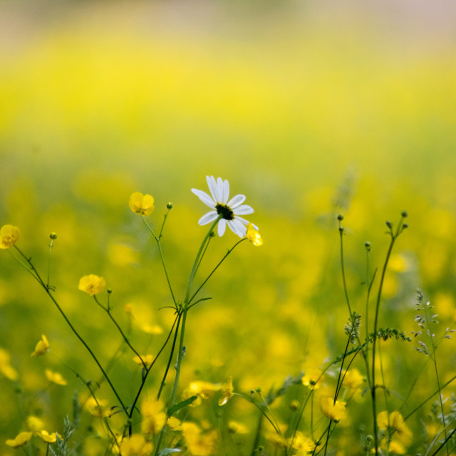 """Lonesome Daisy"" stock image"