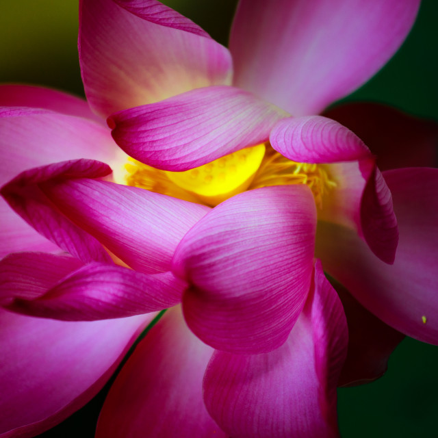 """artistic beauty of the lotus"" stock image"