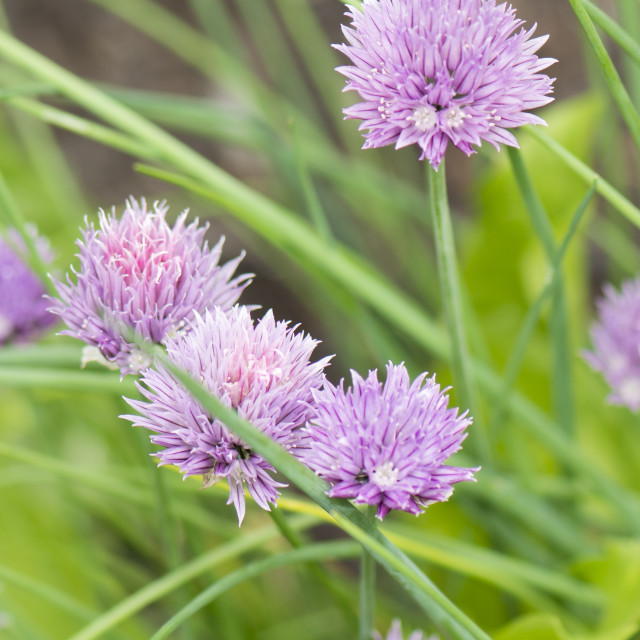 """Flower of chives."" stock image"