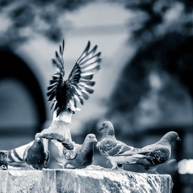 """""""The calm pigeon and the presence of its leader."""" stock image"""
