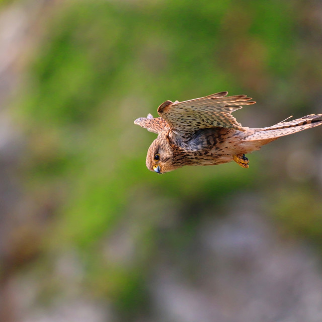 """Kestrel Hovering"" stock image"