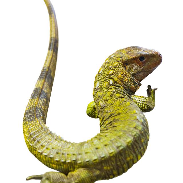 """Northern Caiman Lizard"" stock image"
