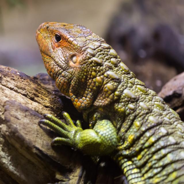 """""""Caiman Lizard"""" stock image"""