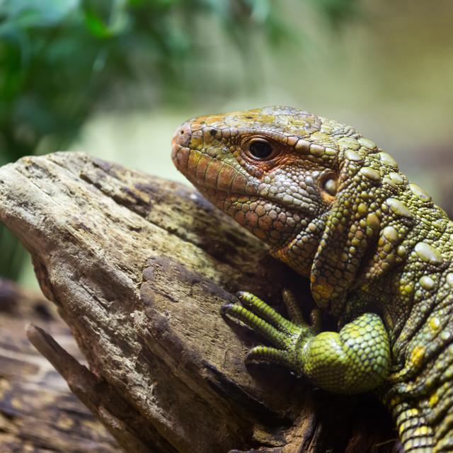 """Northern Caiman Lizard on tree"" stock image"