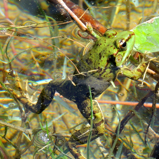 """Frog clinging onto a branch in a pond"" stock image"