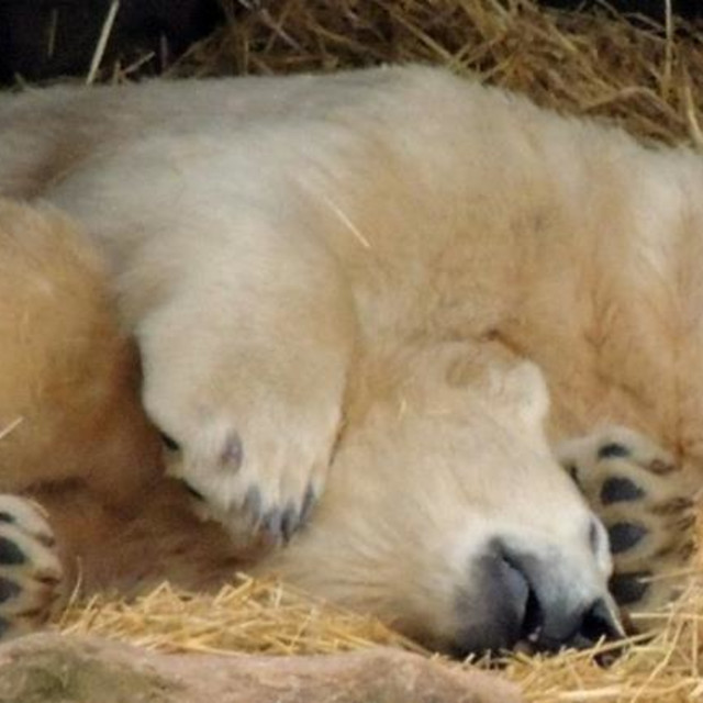 """Cuddling polarbears"" stock image"
