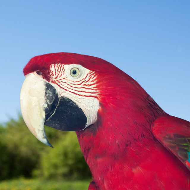 """""""Red-and-green Macaw at wildness"""" stock image"""