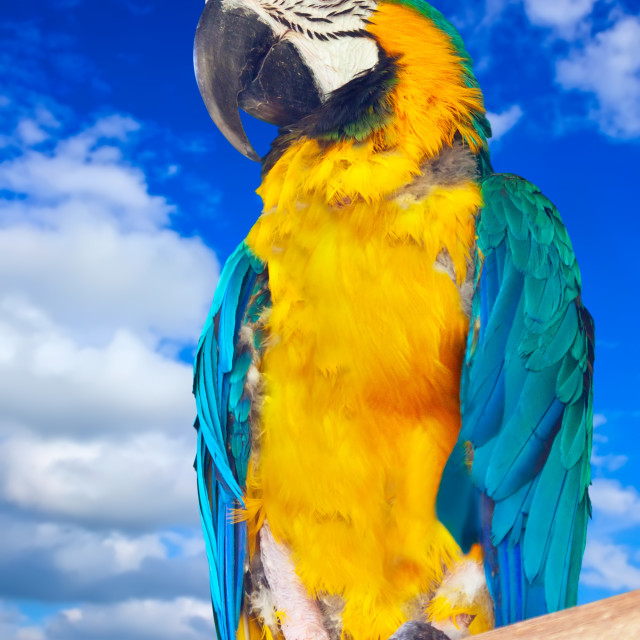 """""""Green-winged macaw against sky"""" stock image"""