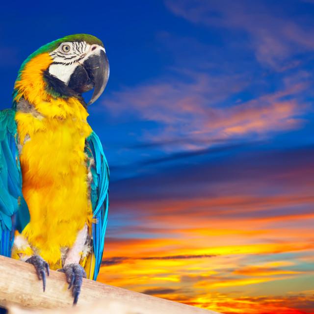 """Green-winged macaw against sunrise"" stock image"