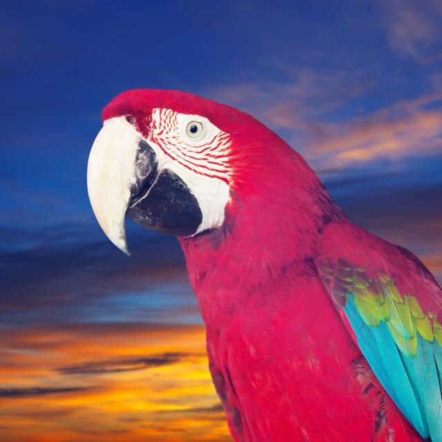 """Portrait of macaw"" stock image"