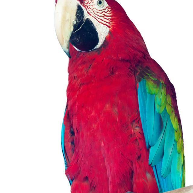 """macaw papagay"" stock image"