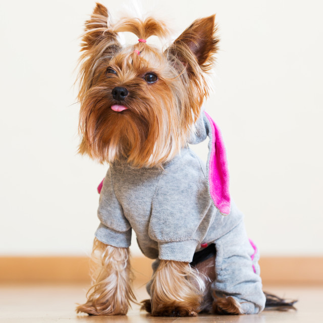 """""""Funny Yorkshire Terrier in overall"""" stock image"""