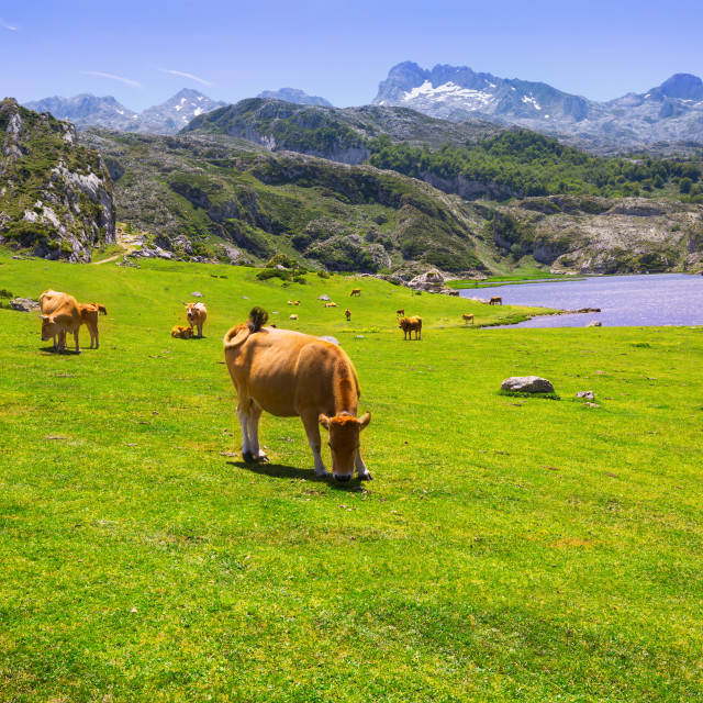 """""""beautiful landscape with lake and cows"""" stock image"""