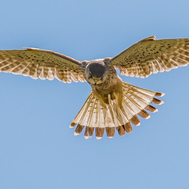 """Kestrel Hunting"" stock image"