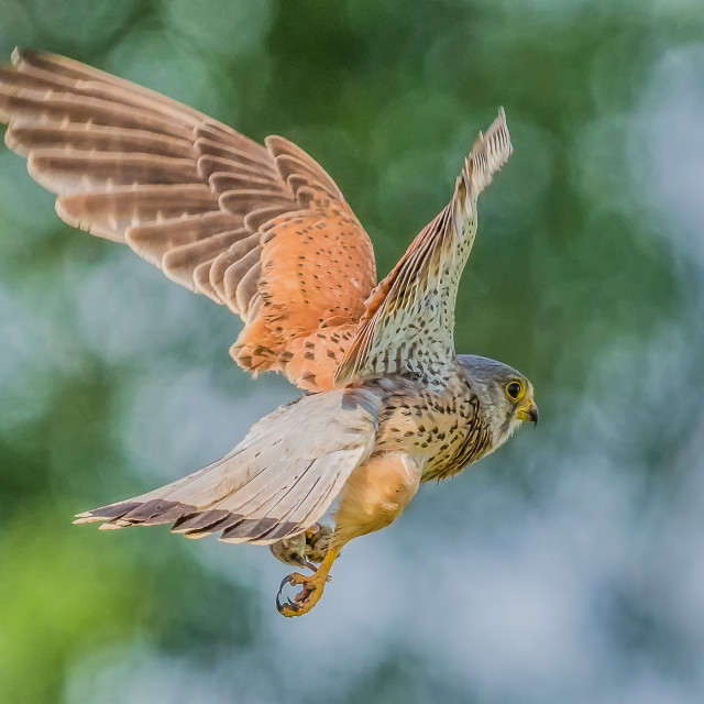 """Kestrel Takes Catch"" stock image"
