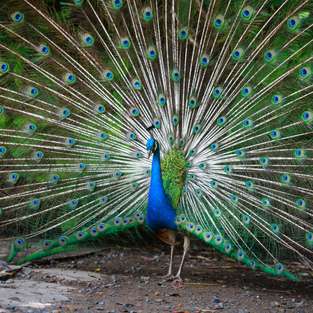 """Splendid peacock with feathers out"" stock image"