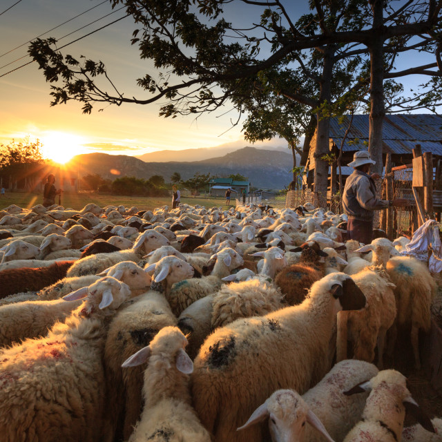 """farmer who is herded sheep back to the barn at dusk"" stock image"