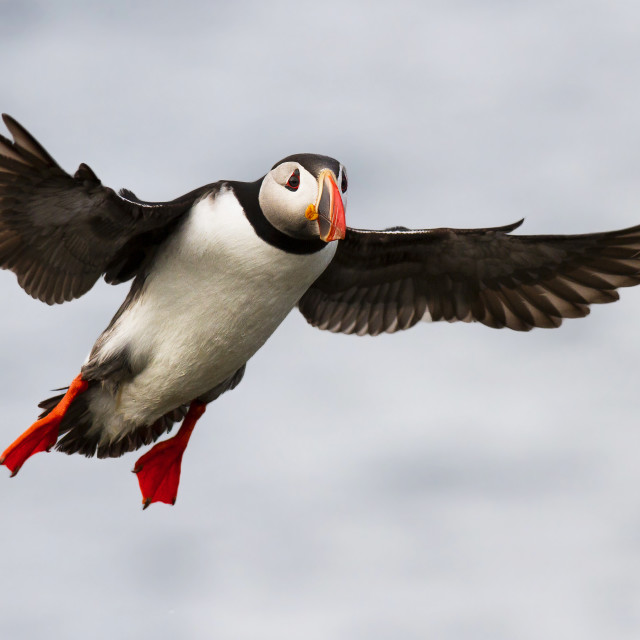 """Puffin coming in to land"" stock image"