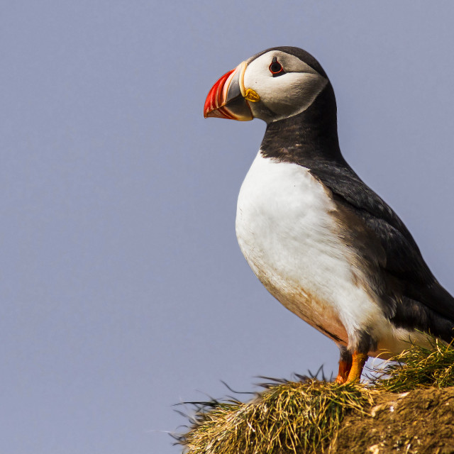 """""""Puffin perched on cliff"""" stock image"""