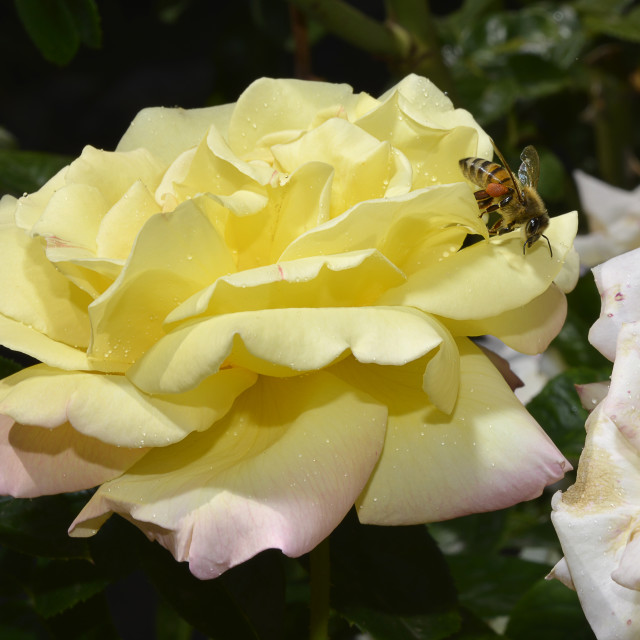 """""""bee onto a rose"""" stock image"""