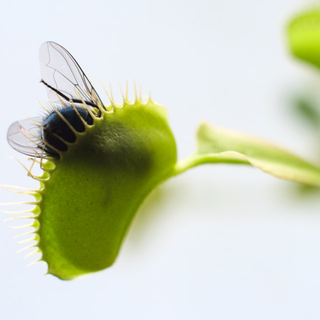 """Venus Fly Trap In Action"" stock image"