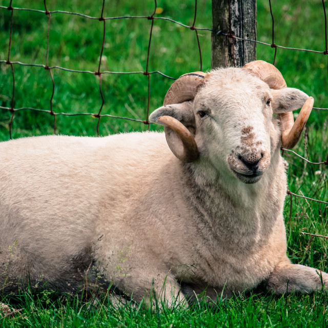 """Relaxed Ram"" stock image"