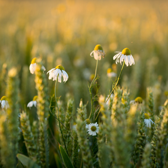 """""""Wheat and wild flowers in sunlight"""" stock image"""