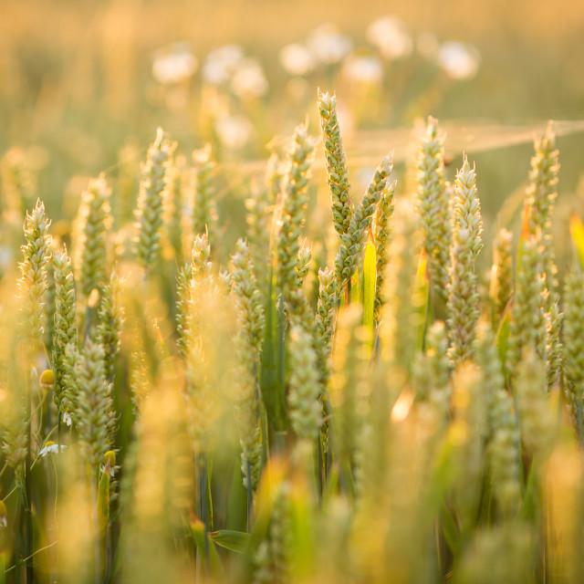 """Wheat in sunlight"" stock image"