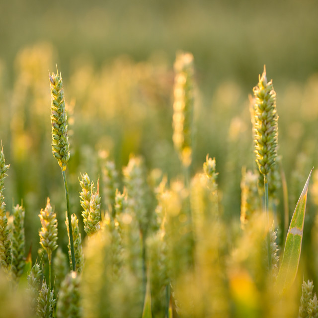"""""""Wheat - Yellow and Green"""" stock image"""