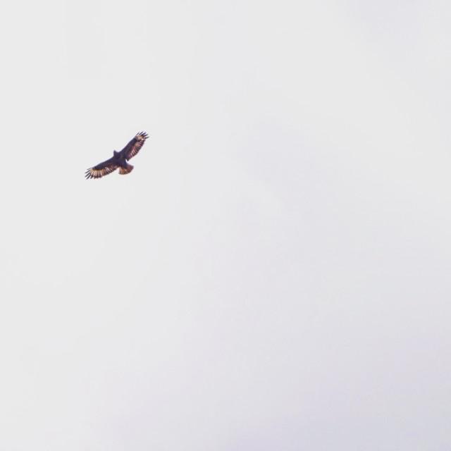 """Mistley Marsh Harrier"" stock image"