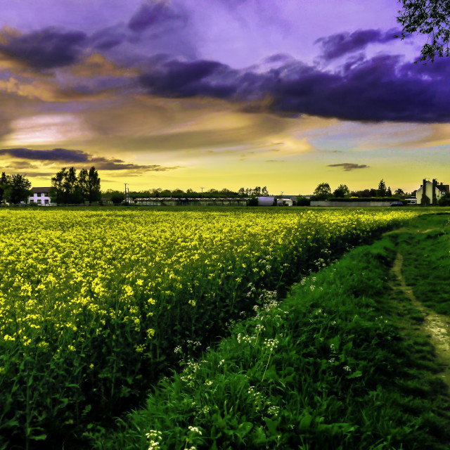 """Rapeseed Sunset"" stock image"