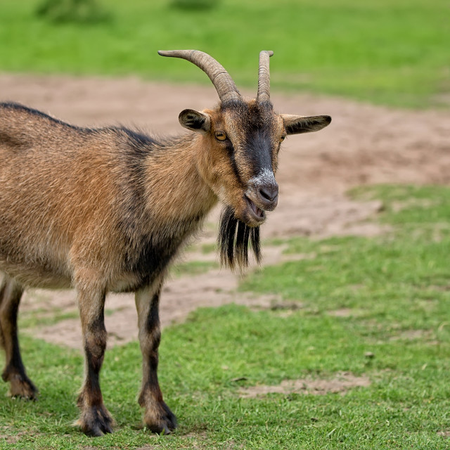 """""""Goat in a clearing"""" stock image"""