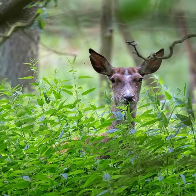 """Red deer hidden in the forest"" stock image"