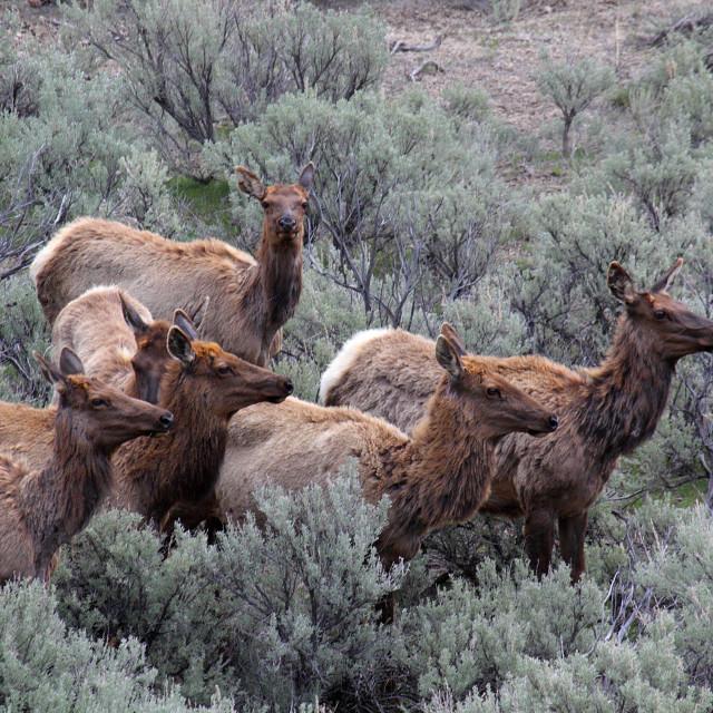 """Yellowstone Elk Herd"" stock image"
