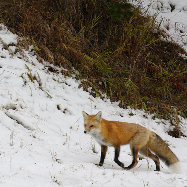 """""""RED FOX IN YELLOWSTONE"""" stock image"""
